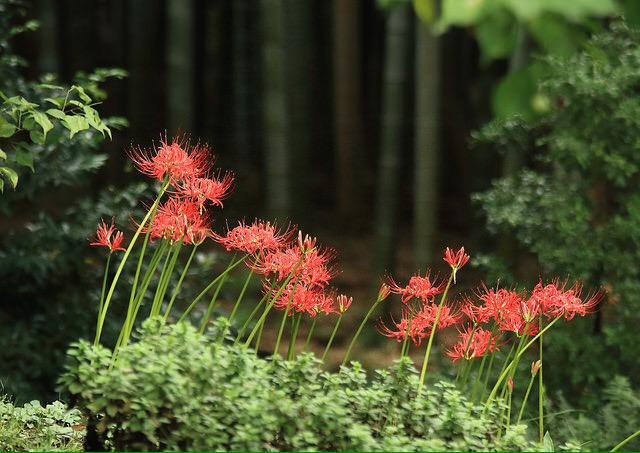Spider Lilies. Ảnh Seiji Enokido